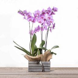Explosión de Orquídeas