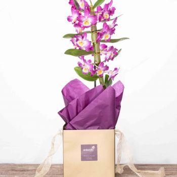 Dendrobium bolsa regalo