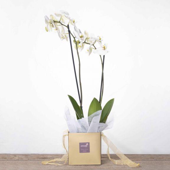 Orquídea elegante