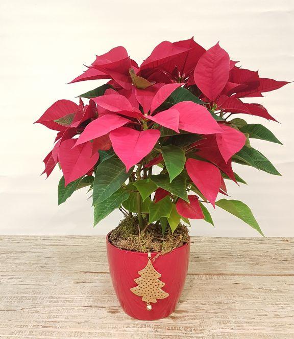 Flor de pascua con macetero decorado
